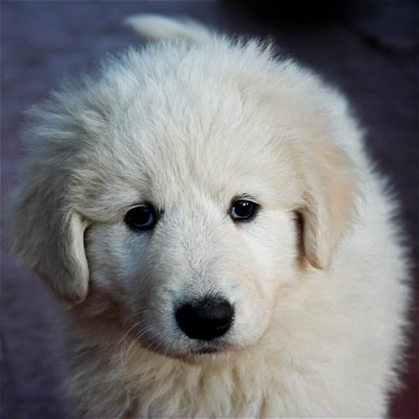 Fluffy White Puppy