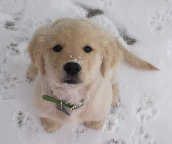 Golden Retriever Puppy Snow