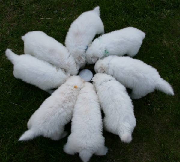 Litter Of Samoyed Puppies Eating