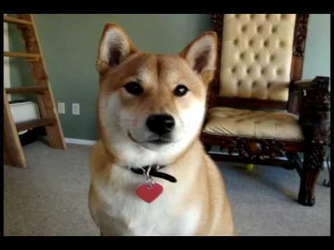 Meet The Talking Shiba Inu