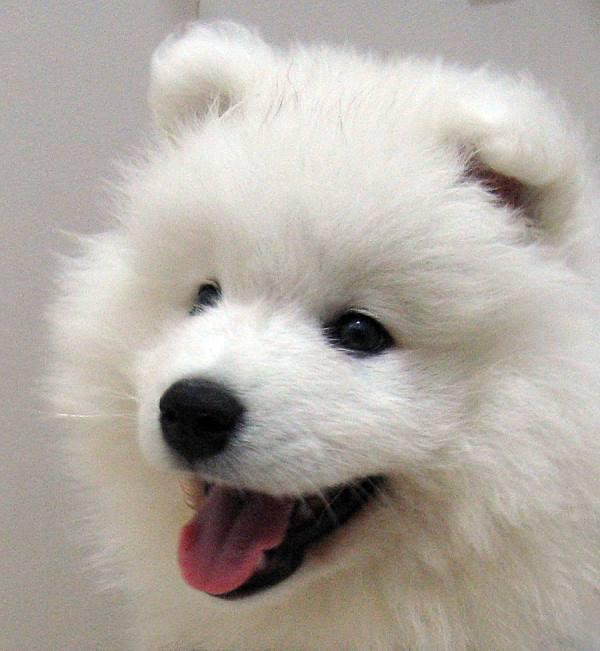 Nice Samoyed Dog Photo