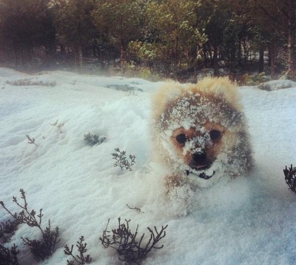 Pomeranian In The Snow