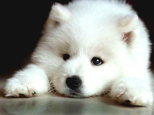 Puppy Photos Samoyed