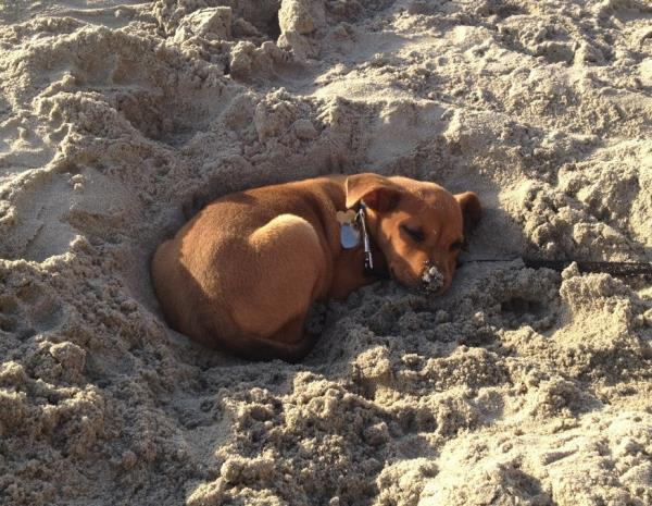 Puppy Sleeping At The Beach