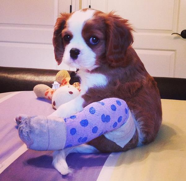 Puppy With Cast
