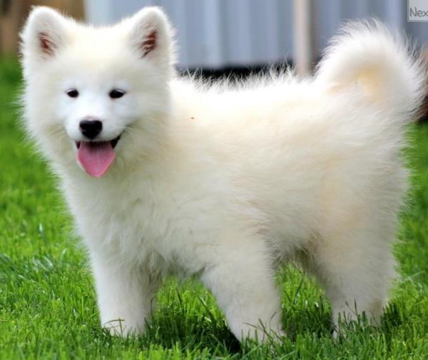 Samoyed Photos Cute Puppy