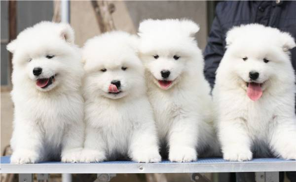 Samoyed Photos Puppies