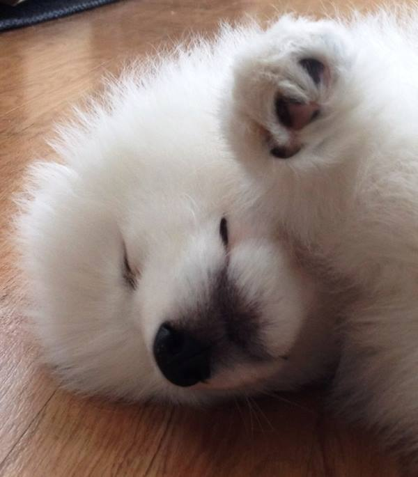 Samoyed Photos Puppy On Its Side