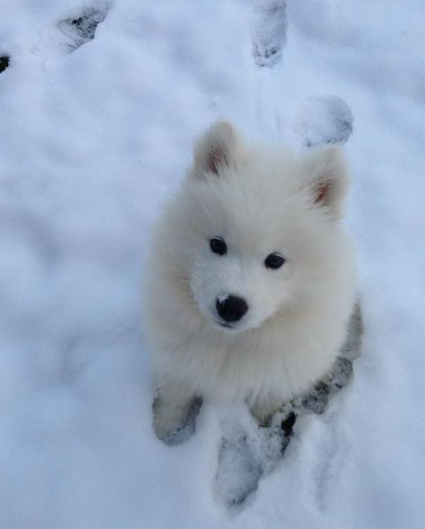 Samoyed Photos In The Snow