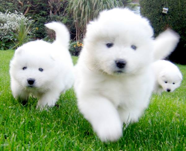 Samoyed Puppies Running