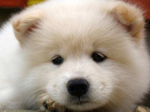 Samoyed Puppy Photo