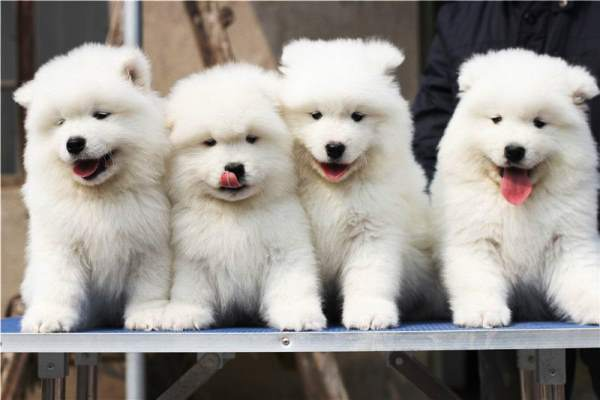 Samoyed Puppy Pictures
