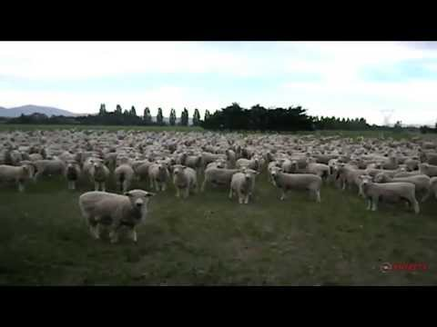 Video thumbnail for youtube video Sheep Protest