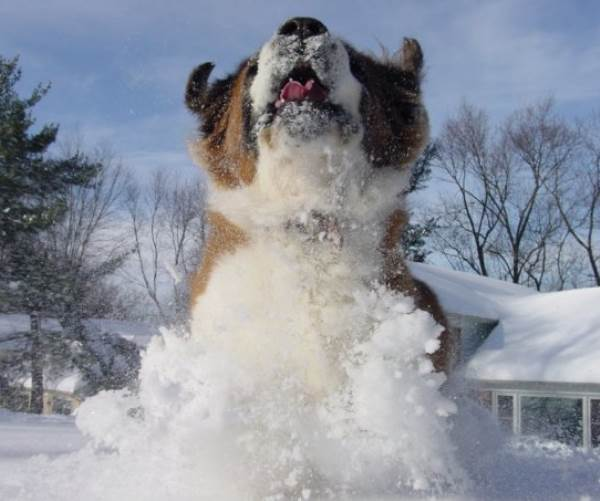 St. Bernard Loves The Snow