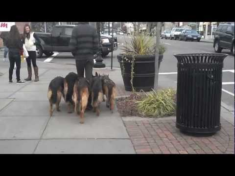 Video thumbnail for youtube video Walking Dogs Like A Boss