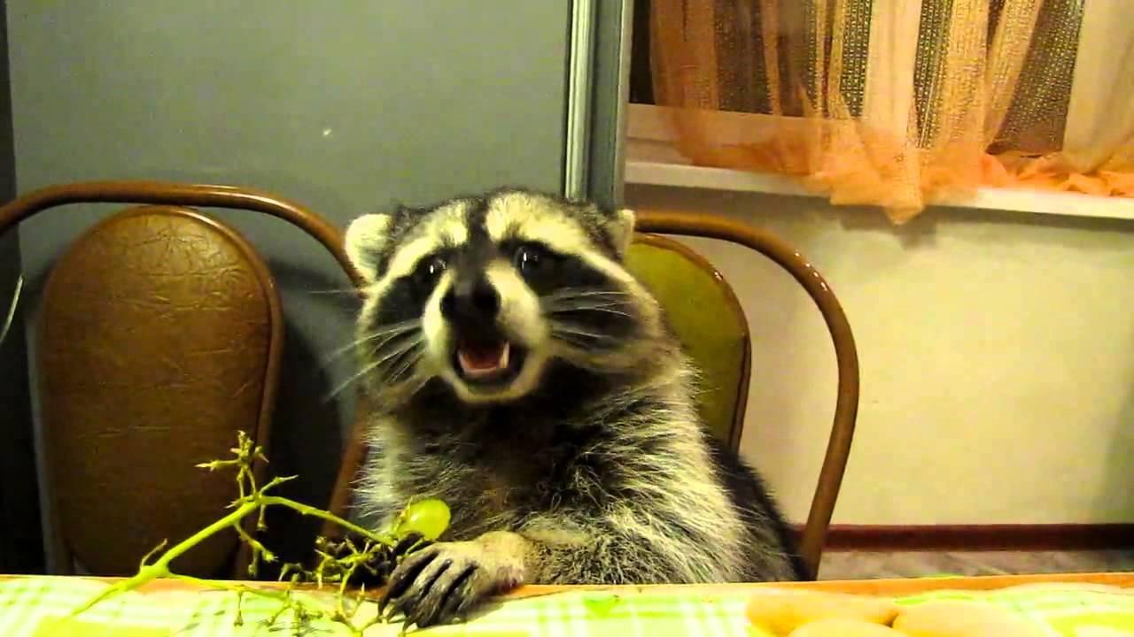 Watch A Pet Raccoon Eat Grapes