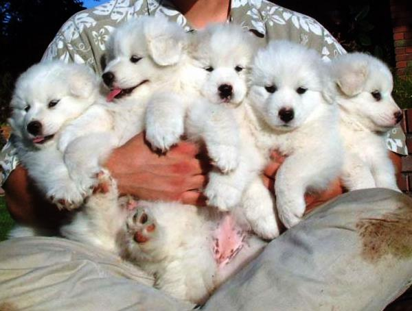 White Dog Puppies