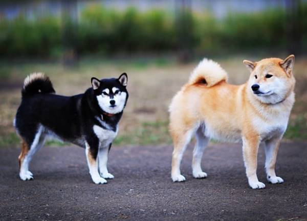 Cream And Black Shiba Inus