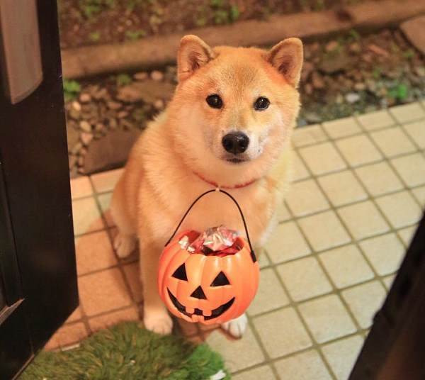 Cutest Shiba Inu