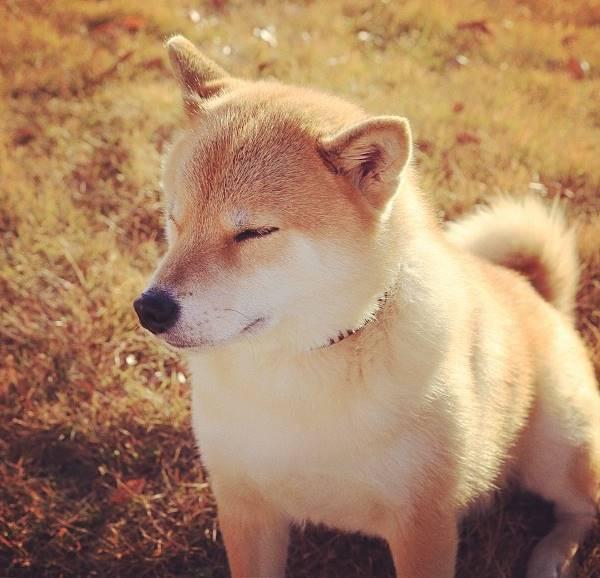 Fluffy Shiba Inu