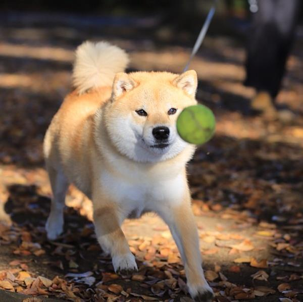 Maru Chasing A Tennis Ball