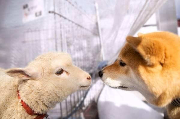 Shiba Inu And Lamb