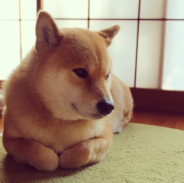 Shiba Inu Folded Legs