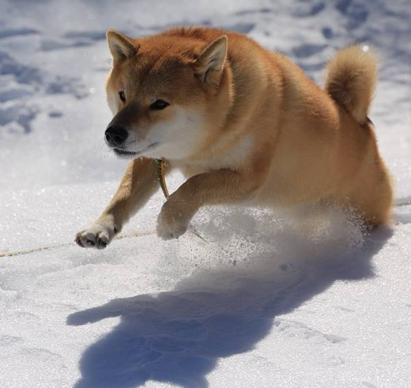 Shiba Inu Jumps In The Snow