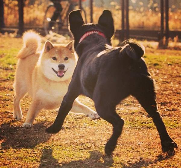 Shiba Inu Playing With Black Dog