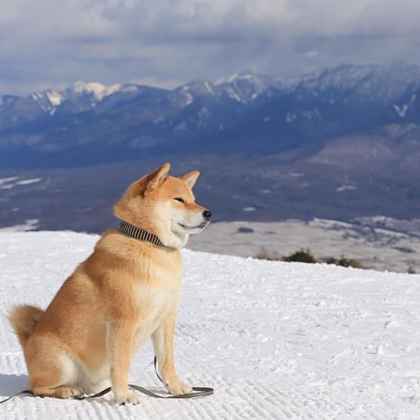 Shiba Inu Snowy Mountain Photograph
