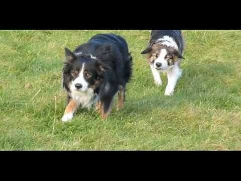 The Sneaky Collies