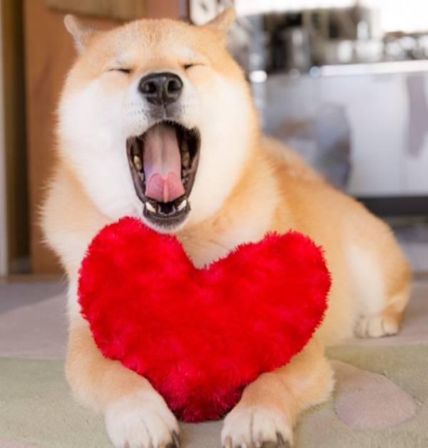 Yawning Shiba Inu