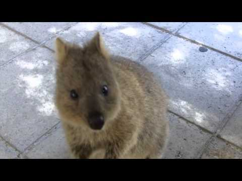 26 Adorable Pictures Of The Quokka, The Happiest Animal On Earth
