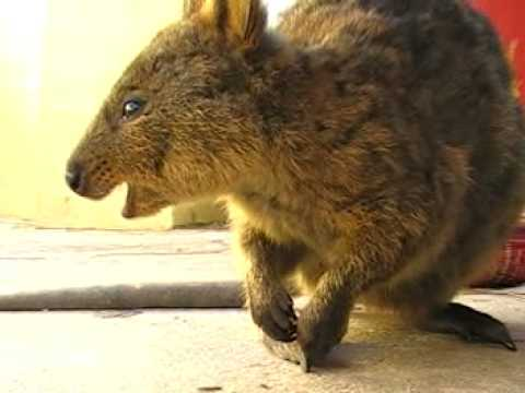Video thumbnail for youtube video 26 Adorable Pictures Of The Quokka, The Happiest Animal On Earth