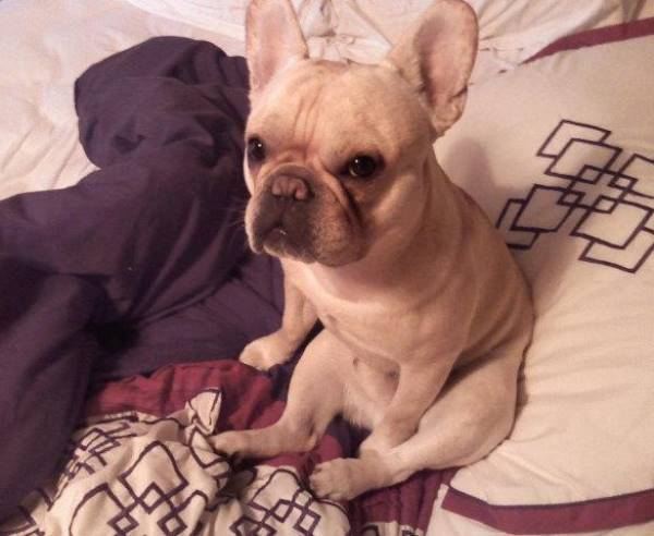 Adorable French Bulldog Pictures
