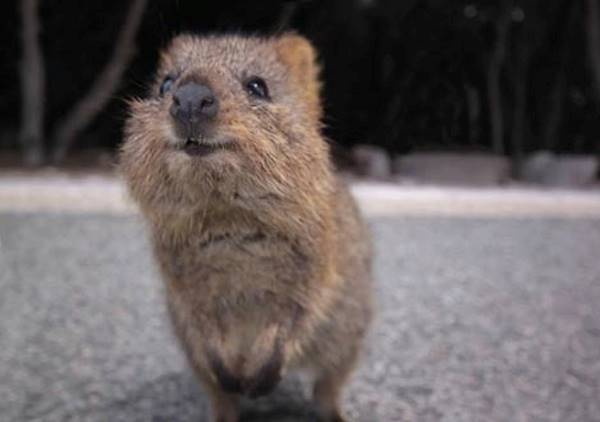 Adorable Quokka Pictures