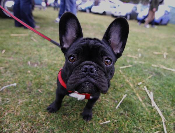 Big Earred Black French Bulldog