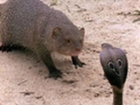 Cobra Versus Mongoose