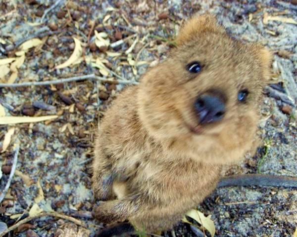 Cute Quokka