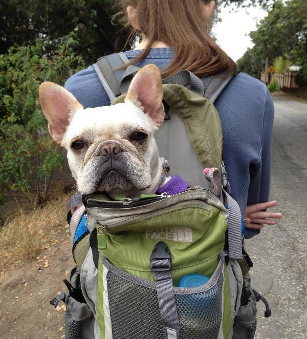 French Bulldog Pictures Hiking