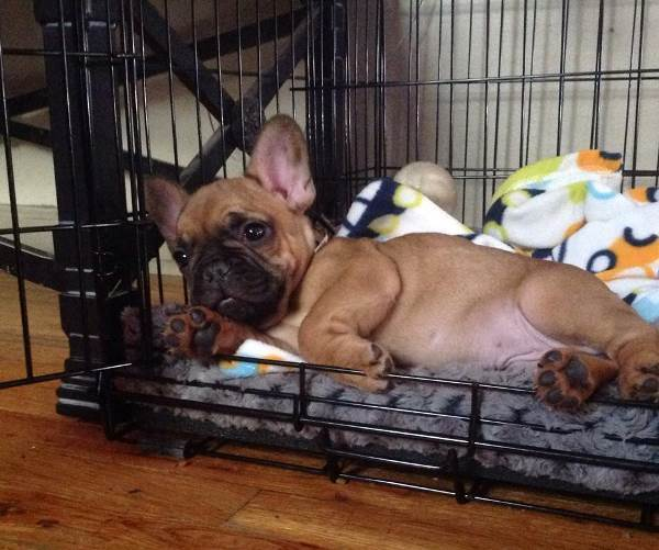 French Bulldog Sleeps In A Crate