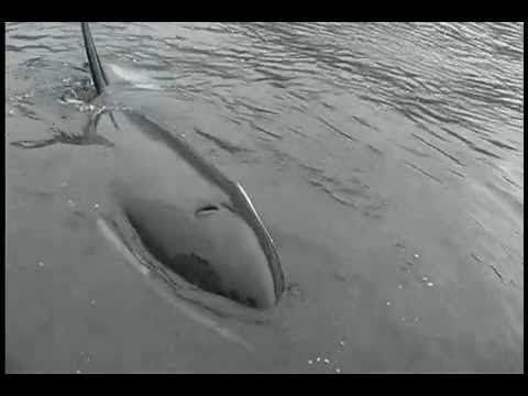 Orca Communicates By Imitating Boat Sounds