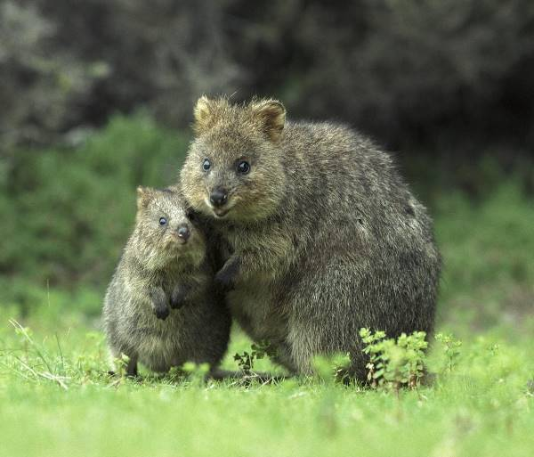 Quokka Family Picture