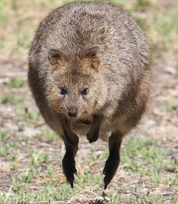 Quokka Hopping