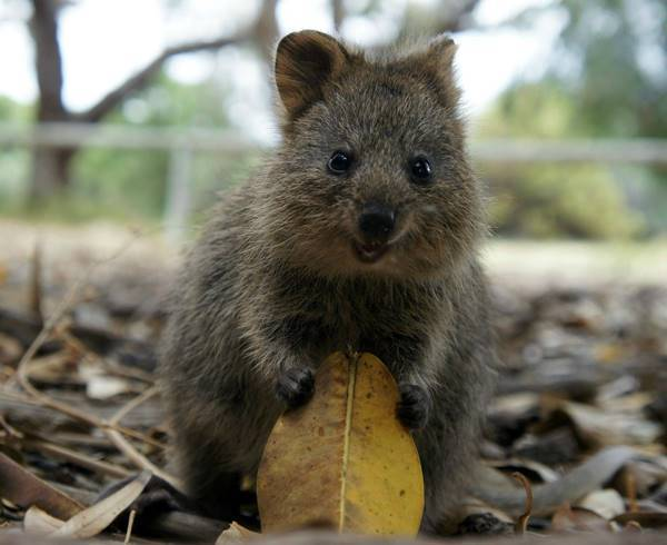 Quokka With A Leaf
