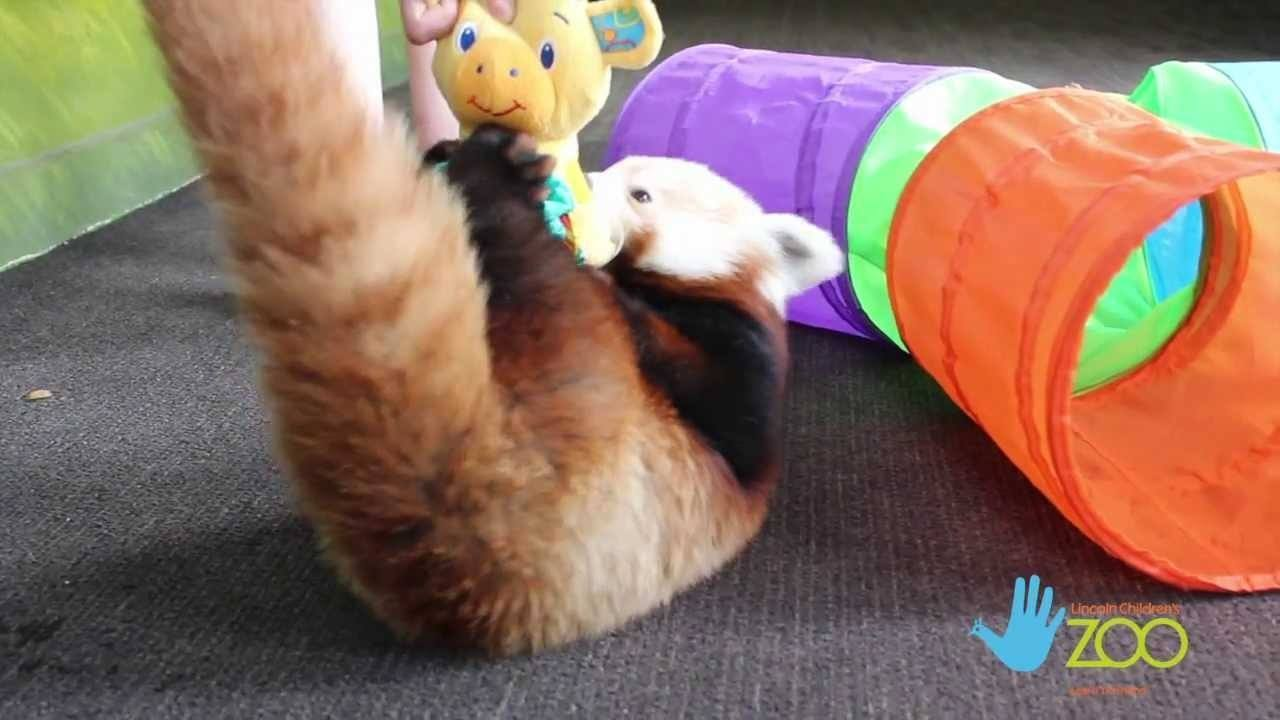 The Adventure Of A Red Panda
