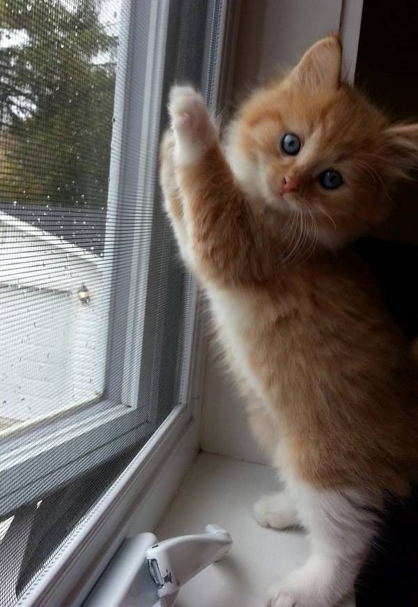 Cutest Kitten Pictures Reaching For Blinds