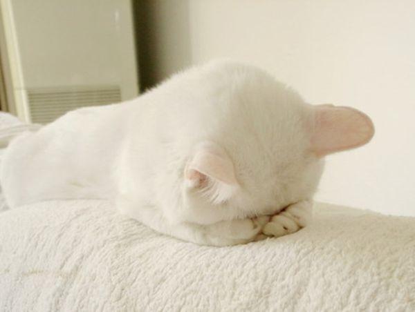 Flat Faced Kitten