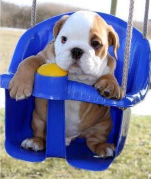 Baby Bulldog In A Swing