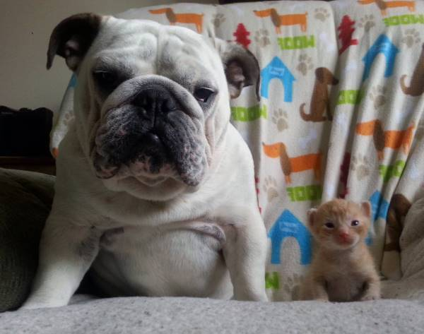 Bulldog And Cat